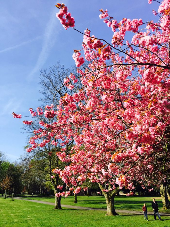 Blossom in John Leigh Park this morning