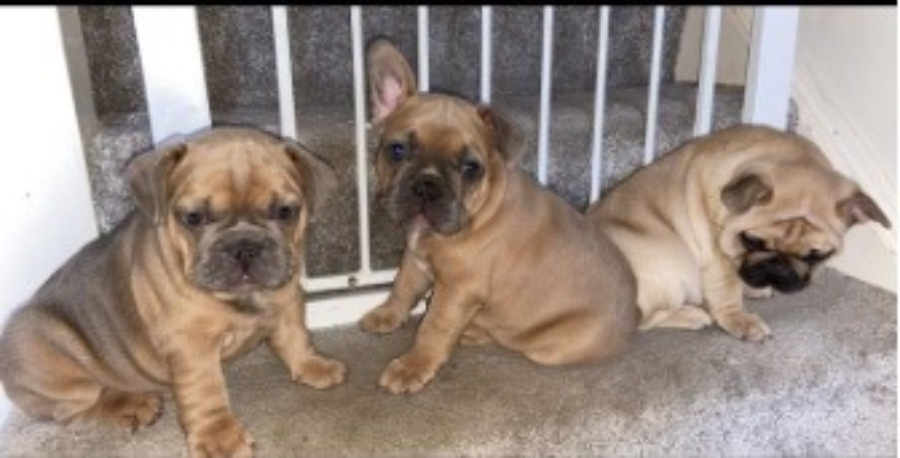 Three French Bulldog puppies stolen from Timperley house